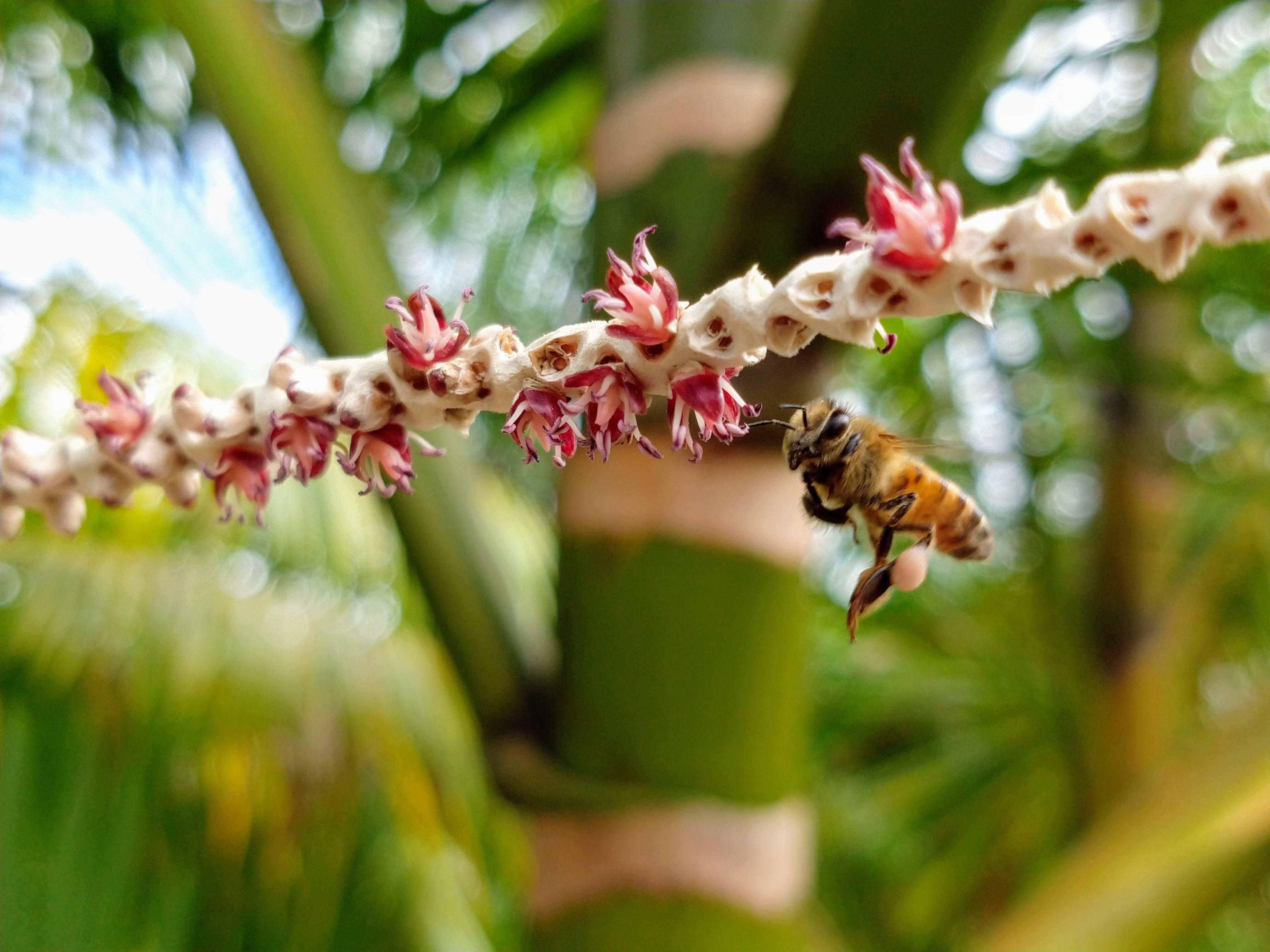 Polinização natural - Abelha exótica